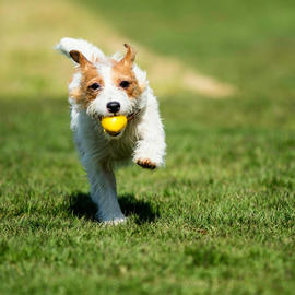 dog running with yellow ball in mouth