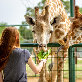 girl feeding lettuce to giraffes