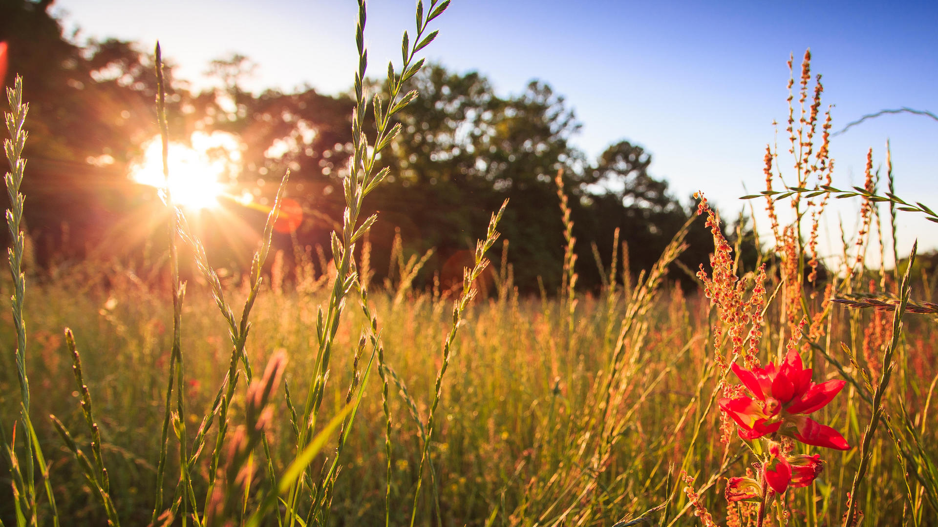 sun shining on tall grass with red flower